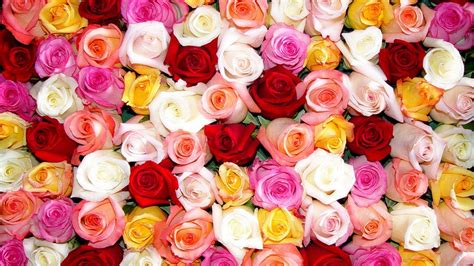 colorful rose wallpaper download pictures of roses wallpapers wallpaper cave
