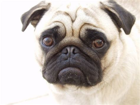 what you need to about pugs 17 pugs you ll want to pin