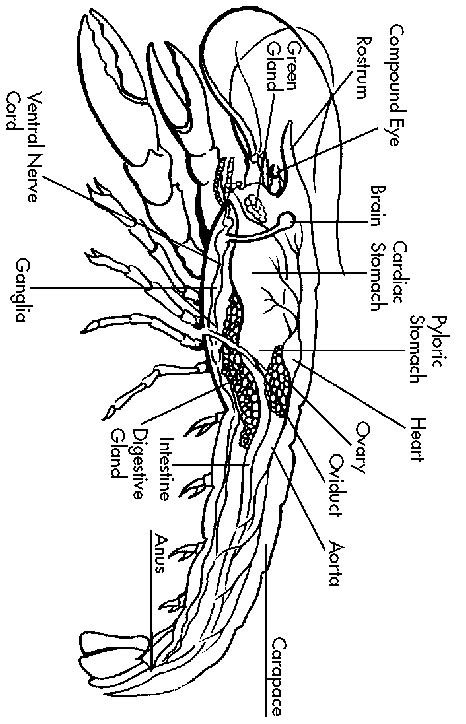 Crayfish Dissection Worksheet by Ntti Lesson Crayfish Worksheet
