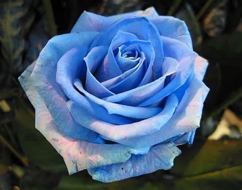 imagenes de rosas rojas para facebook fotos de rosas florpedia com
