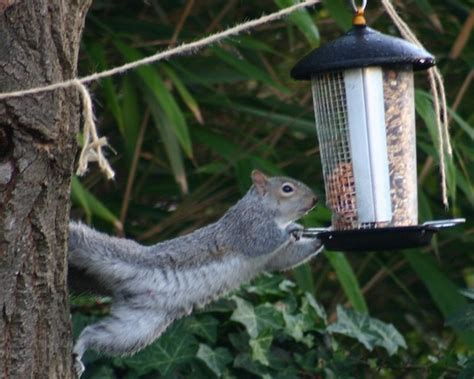 squirrels vs bird feeders the battle in pictures