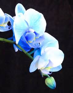 color orchids color infused blue orchids