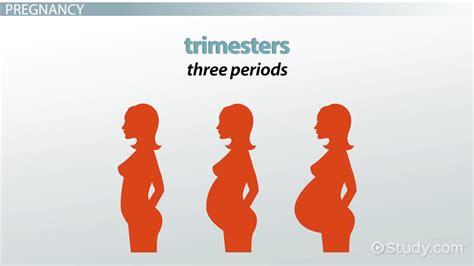 human pregnancy vocabulary video lesson transcript studycom