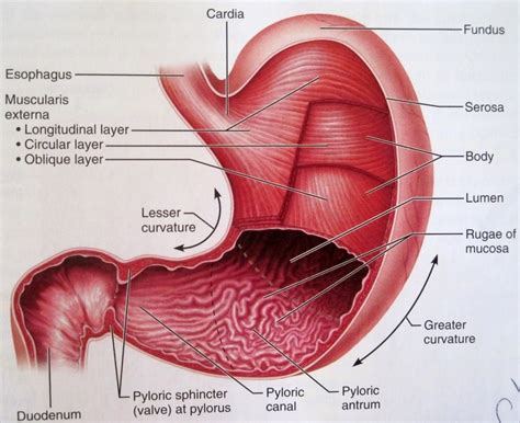 stomach diagram human stomach lebbled diagram anatomy list