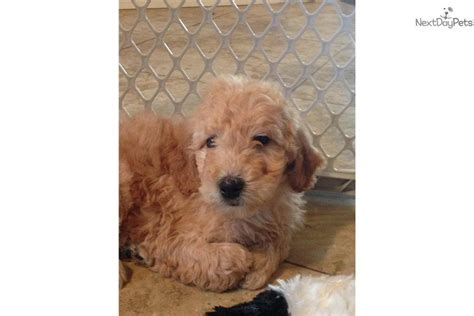 trained doodle puppies for sale meet teddy m a goldendoodle puppy for sale for