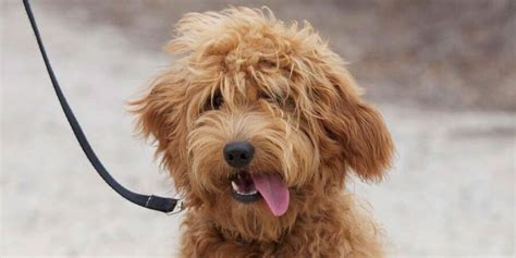 goldendoodle expectancy top 10 hybrid dogs in the world 2017 by dogmal