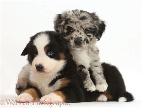 miniature american shepherd puppies dogs mini american shepherd puppies photo wp41896