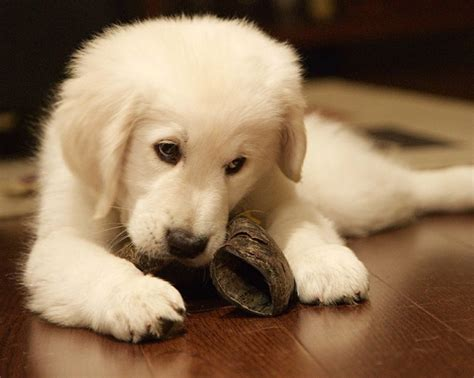 tucson golden retriever golden retriever puppies talini golden retrievers tucson az