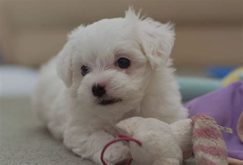 teacup maltese puppy 1 beautiful teacup maltese boy pup dogs forsale dartford kent pets4homes