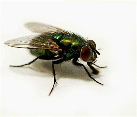 Toxilat Racun Lalat 3 In One lalat mengingatkan orang angkuh dan congkak uswah islam