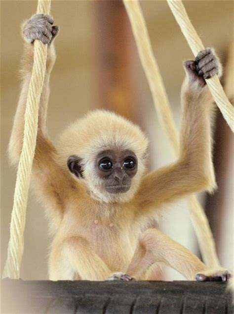 baby monkey swing jonesin for some fluffy baby animal timezz yes some