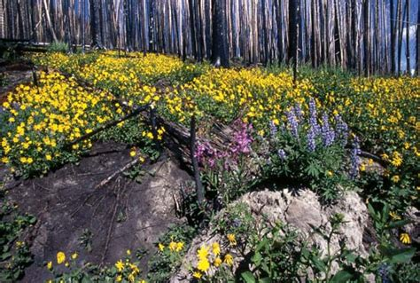 Wyoming Wildflowers The Beginning yellowstone national park facts history plant and