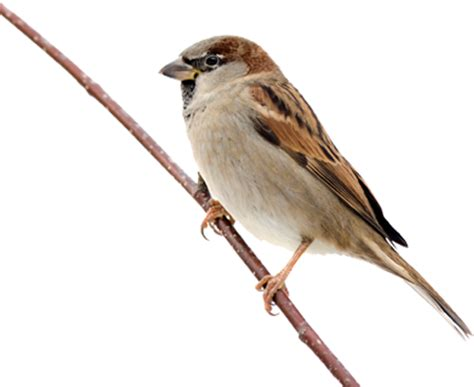 sparrow png transparent images png all