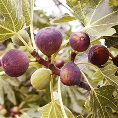 anjeer common fig plant buy nursery plants online in