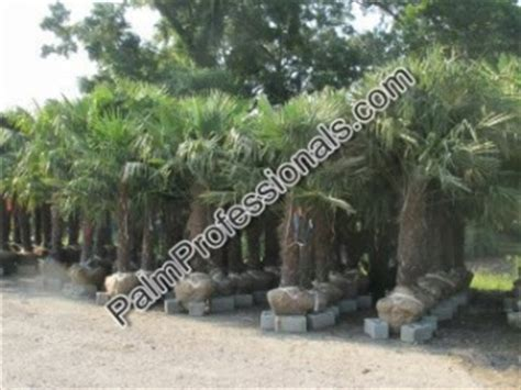 where to buy trees in houston windmill palm tree for sale in houston buy cold