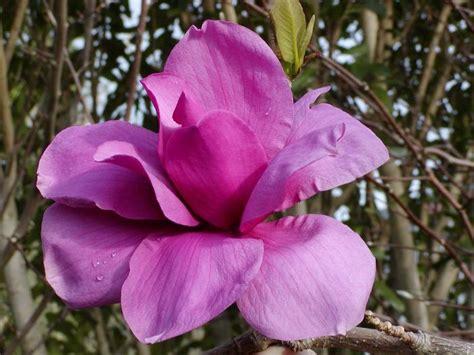 magnolia purple sensation
