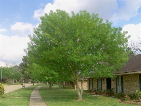 Best Fruit Tree For Backyard Fraxinus Velutina Arizona Or Velvet Ash Leafland
