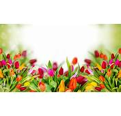 Colorful Tulip Flowers Background Images  New Hd