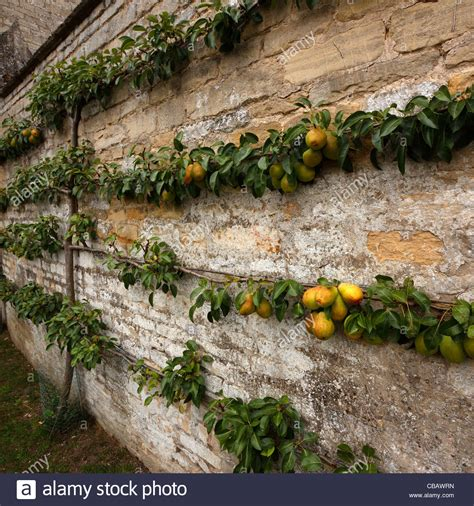 Espalier Trained Pear Tree With Fruit On Cottage Garden Walled Garden Nursery