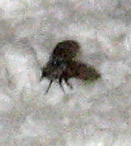 small black flying bugs in bathroom bathroom fly what s that bug