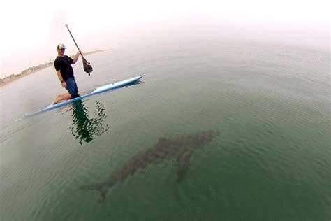 2015 beach shark attack stanford researchers show the risk of shark attacks is way