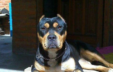 pitbull and rottweiler mixed rottweiler mixed with pitbull www pixshark images galleries with a bite