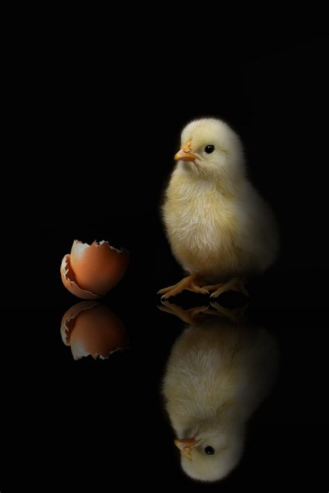 chick  shell black background  stock photo
