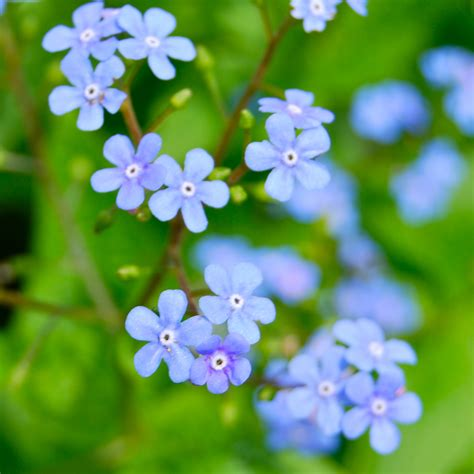 blue flowers picture tiny flowers in bloom light colored file blueflowerwade jpg