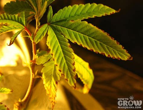 most difficult plants to grow 9 common marijuana growing mistakes and how to fix them