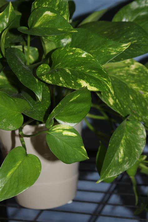 watering pothos plants indoor office plant care
