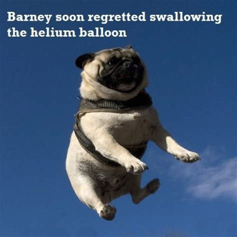 pug pics with captions 106 best images about pug times on discover more ideas about pug