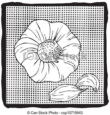 testa di aglio vettore eps di aglio bulb testa di agliocsp10715643
