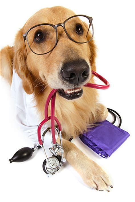 puppy doctor lab coat animal stock photos kimballstock