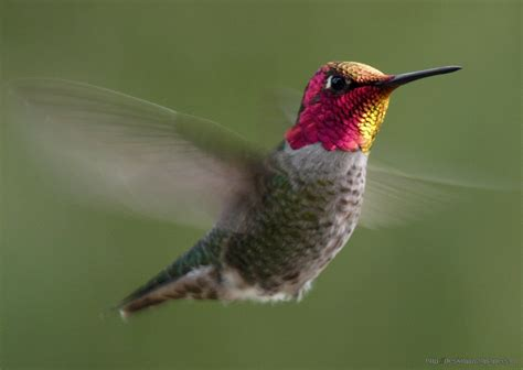 anna s hummingbird desktop wallpapers free