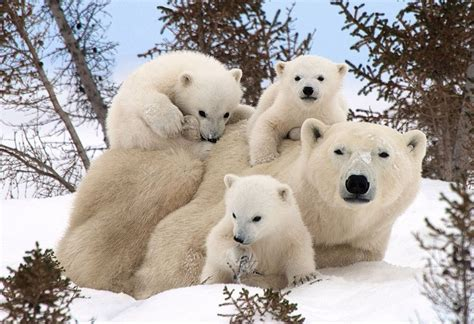 Polar Smile picture of the day polar cubs and their smile