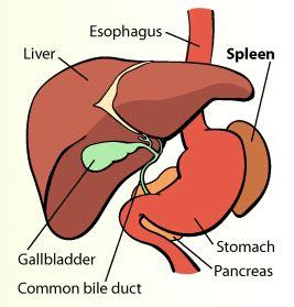where is my spleen located diagram pediatric surgery splenectomy