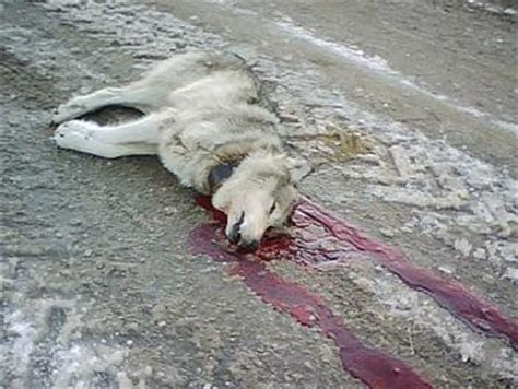 wolf breeds list congress pulls wolves endangered species list