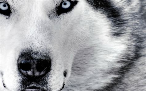 white wolf white wolf wallpaper wolf picture