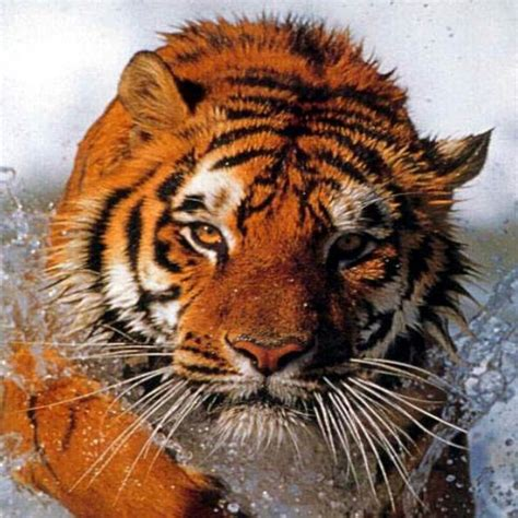 google images tiger tiger wallpaper background animals wallpapers google