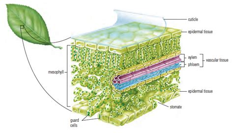 Plant Leaf Cross Section by Plant Leaf Cross Section Diagram