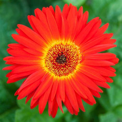 Gerbera Garten Pflanzen by Gerbera Im Garten Ziehen 187 So Gelingt S