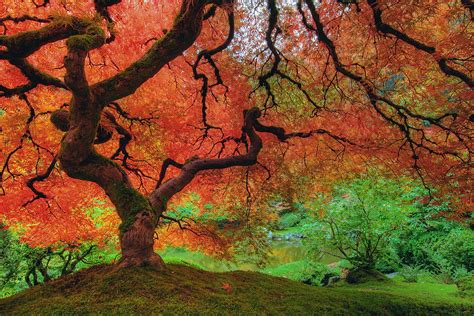 trees in japan japanese maple tree in autumn by david gn