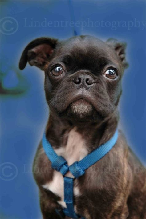 half pug half boston terrier pin by crude company on pugs and friends