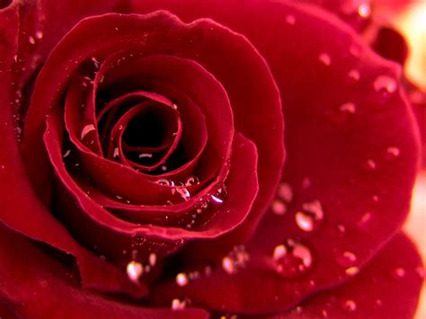 theme red rose download rose free download wallpaper top backgrounds wallpapers