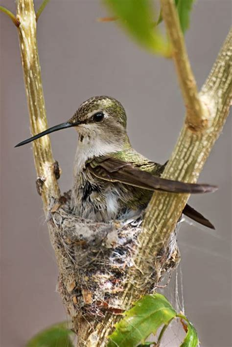 a hummingbird in its nest birds pinterest