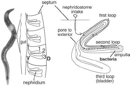 Nephridia Diagram