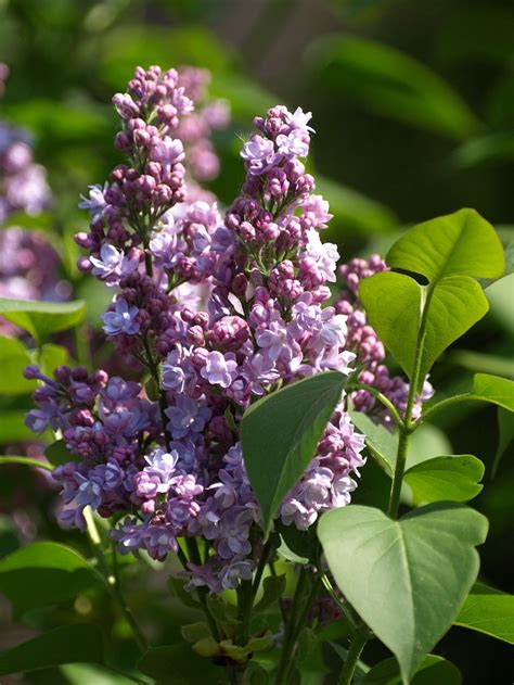 which plant is most fragrant top 10 fragrant plants for a sensory garden paradise