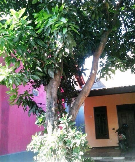 Kebun Bibit Tanaman Temu Mangga berkreasi di kebun sendiri dengan bibit tanaman buah ila