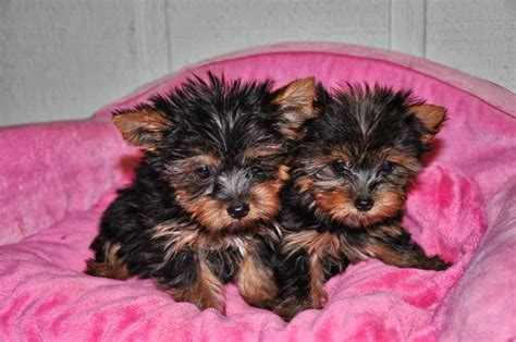 pics of a teacup yorkie some tips for teacup yorkies teacup yorkie