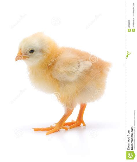 Small Chicken by Small Chicken Royalty Free Stock Photography Image 17522667